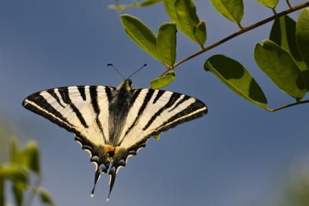 scarce: Scarce Swallowtail Stock Photo