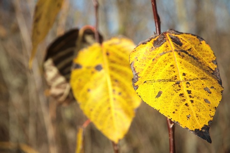 Autumn leaves waiting to fall