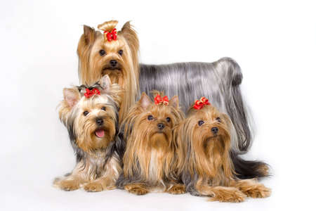Four Yorkshireterriers on white background. Picture was taken in studio. photo