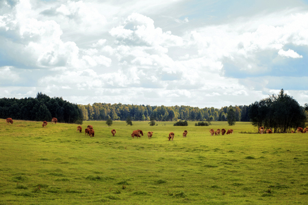 Free range of wild cattle 版權商用圖片