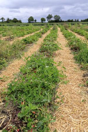 Strawberry plantation on a sunny day Standard-Bild