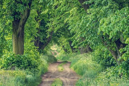 Tree alley linden, spring landscape