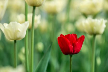 白と赤のチューリップ