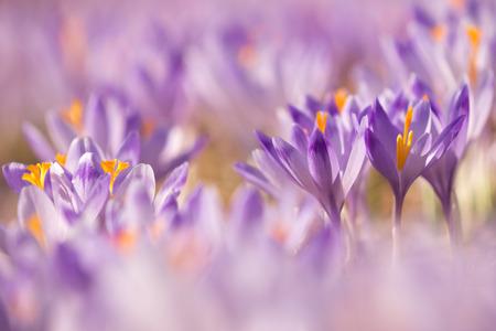 美しい色のクロッカスの花