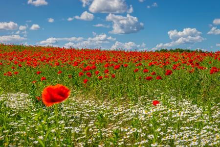 ケシ畑、春の風景