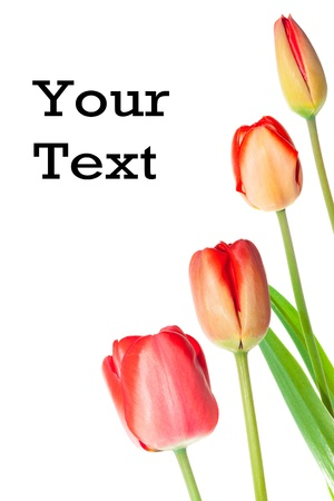 tulipa: Tulip with text Stock Photo