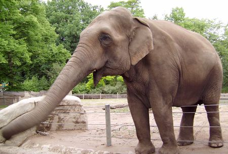 The big adult elephant with the extended trunk.