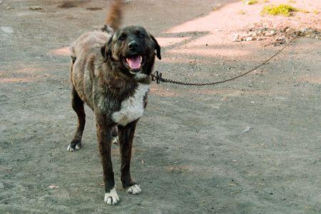 Big dog on a chain