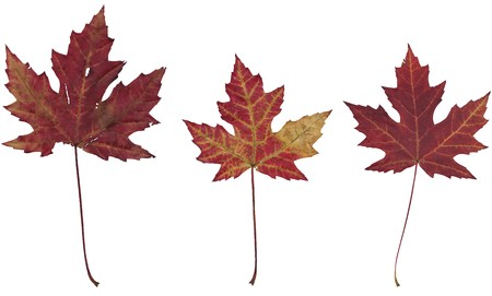 Three dry autumn maple leaves on a white background