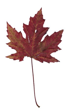 Dry autumn maple leaf on a white background