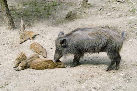 Wild boar with the wild boar photo