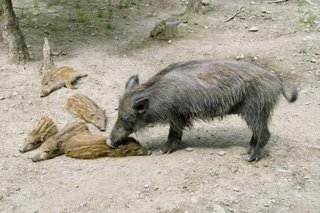 Wild boar with the wild boar Stock Photo