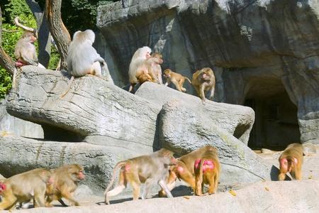 Herd of monkeys photo