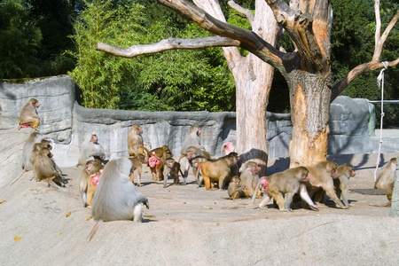 Herd of monkeys photo