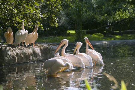 Herd of white-pink pelicans photo