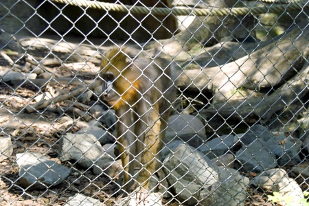 Monkey behind a lattice photo