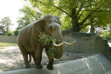 The elephant eats a tree branch Stock Photo