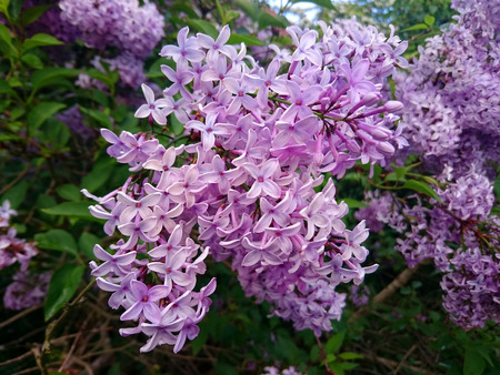 lilacs: The flowers of the purple lilacs