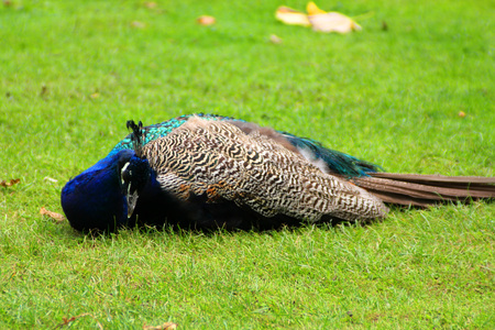 The peacock on the green grass