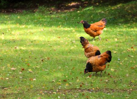 Three red chicken on green grass Stock Photo