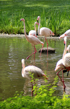 Herd of pink flamingos on a water reservoir Stock Photo
