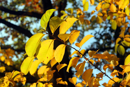 Yellow autumn leaves on a branch Stock Photo