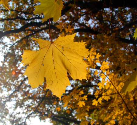 Yellow maple leaf on a branch