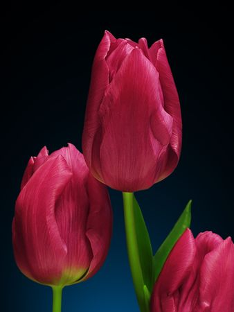 Three tulips on a black background Stock Photo