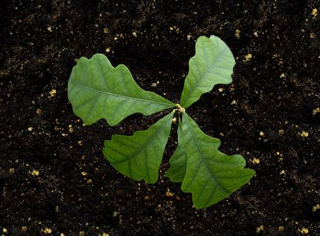 occurrence: Root, oak, the ground, new, a birth, young, green, fresh, a plant, updating, occurrence, young growth, an oaklet