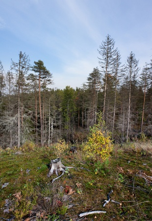an old stump beside a young birch tree in the autumn forest on the slope of the hill