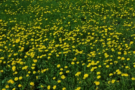 field of dandelions in the spring flowering season on a sunny day Stock Photo