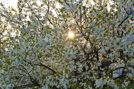 the sun shining through the white plum blossoms