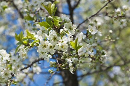 blossoming plum flowers on a branch with green leaves Stock Photo