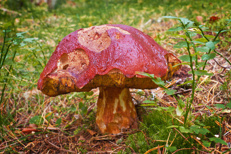old mushroom on a white stem and speckled with a bright deep in the woods, on the background of faded autumn leaves