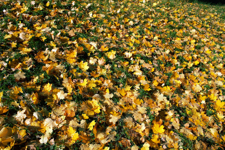 autumn yellow leaves on green grass