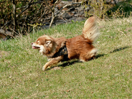 olfaction: The dog lapinkoira plays in green grass