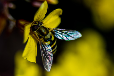 yellow blossom: a wasp sitting on a yellow blossom Stock Photo