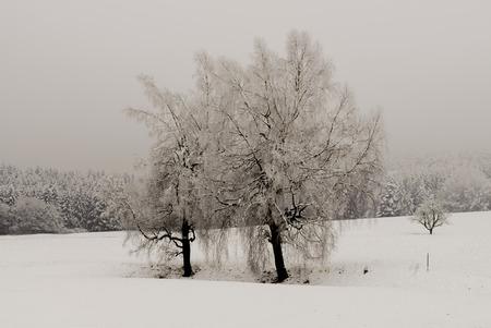 feld: zwei Baeume auf freiem, verschneitem Feld, two trees at large, snow-covered field Stock Photo