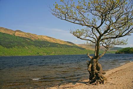 loch lomond: Tree at Loch Lomond