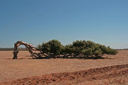 awry: skew tree