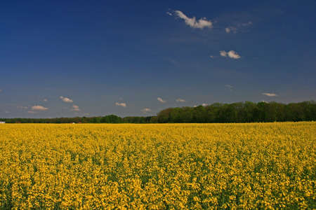 rapeseed: yellow blooming rapeseed - agriculture