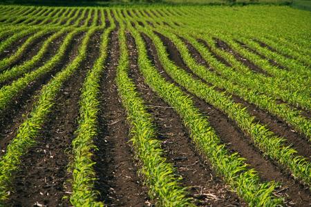 corn rows: rows of corn
