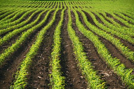 corn rows: rows - corn - field