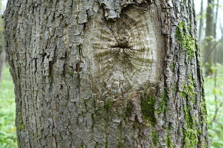 barque: tree with knothole Stock Photo