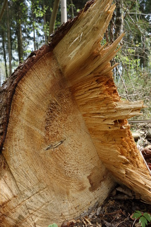 cutted: cutted tree