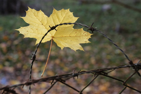 leaf pierced in fence