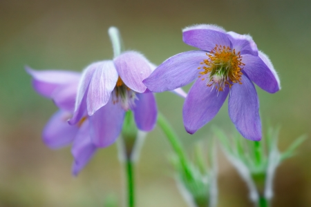 pasqueflower Stock Photo - 18239314