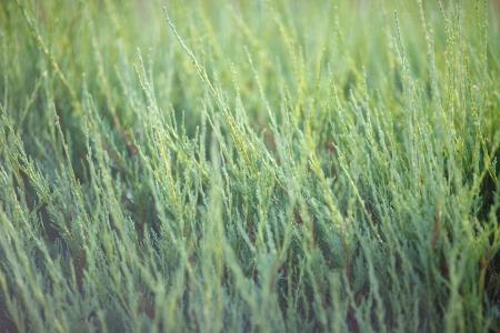 equisetum: equisetum as a texture Stock Photo