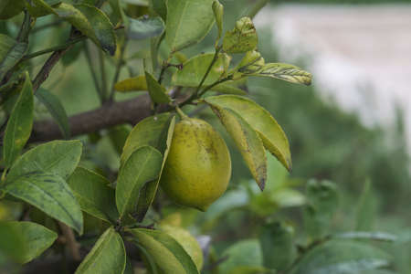 Close up of green lemon fruit on a tree branch in early autumn. The fruit is not yet ripe
