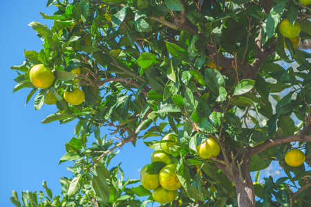 Ripe yellow lemon fruits on tree branches against a blue sky in autumn Standard-Bild